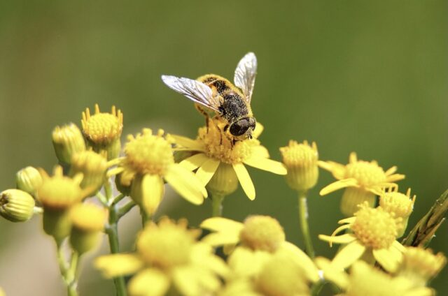 Bee Collecting Pollen Yellow Flowers
